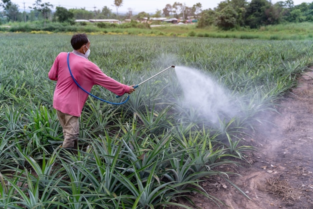 Asian farmer sprays pineapple plant pollen fertilizer mix in pineapple farm