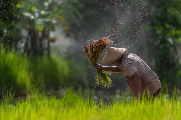 Asian farmer transplant rice seedlings in rice field, farmer planting rice in the rainy season.