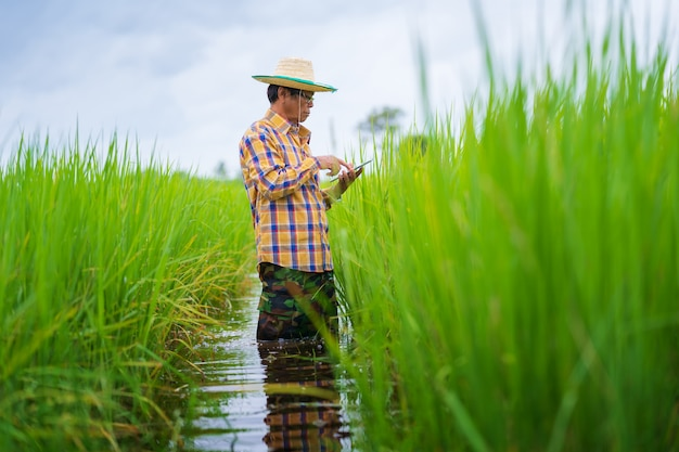 Asian farmer using digital tablet in a green rice field, smart technology agriculture concept