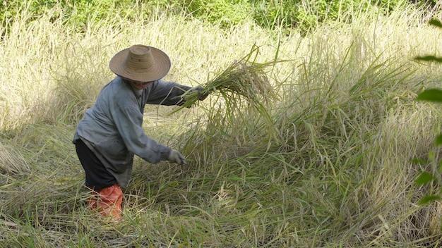 Asian farmer working, harvesting paddy rice in farm field.
