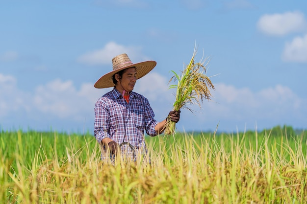 Asian farmer working in the rice field under blue sky
