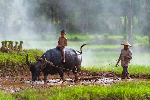 Asian farmer working with his buffalo, farmer thailand.