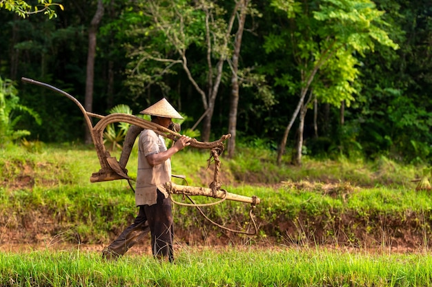 Asian farmers carrying plows for buffalo farming in the field.