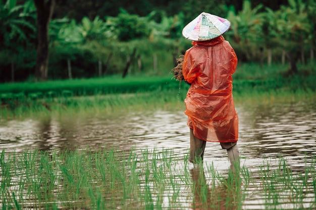 アジアの農家は梅雨の時期に稲作をしています。それらは植え付けの準備のために水と泥に浸されました。
