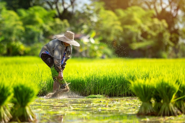 Asian farmers grow rice in the rainy season.