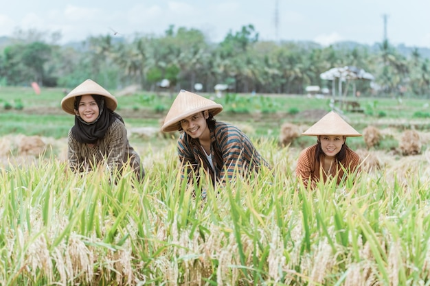 Asian farmers smile as they bend over to harvest the yellow rice plants against the rice field