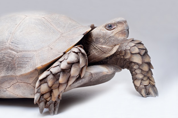 Asian forest tortoise on white background
