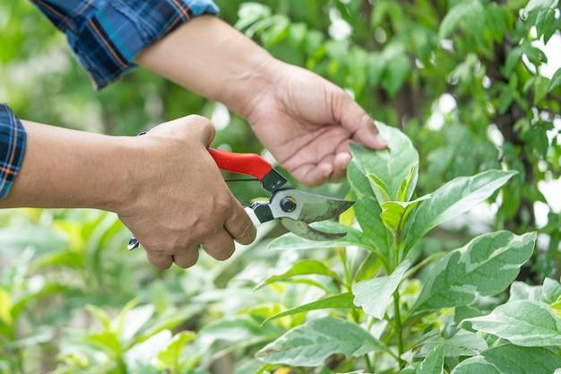 アジアの庭師剪定ばさみは、植物の自然の枝を切るために木を刈り取ります。趣味の植栽ホームガーデン。