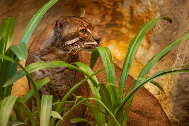 Asian golden cat in zoo, thailand; species catopuma temminckii family of felidae