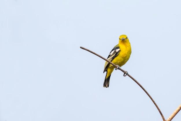 Asian golden weaver on a branch on nature scene. animal. bird.