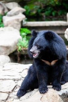 아시아 큰 흑곰. 위험, 포유류.