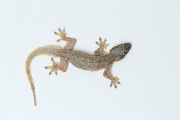 Asian house lizard or common gecko isolated