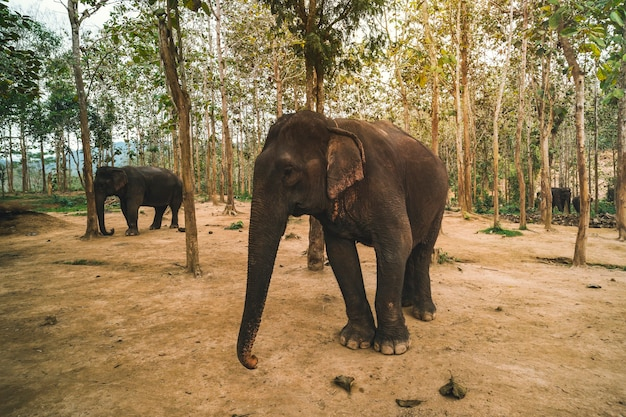 アジア、インド、大きな象が上げられたトランクを迎え、ジャングル、公園、森でトランペットを鳴らします。飼料、葉、国立サファリのサトウキビ、自然保護区、農場の近くに立っている哺乳類の動物。タイの野生生物