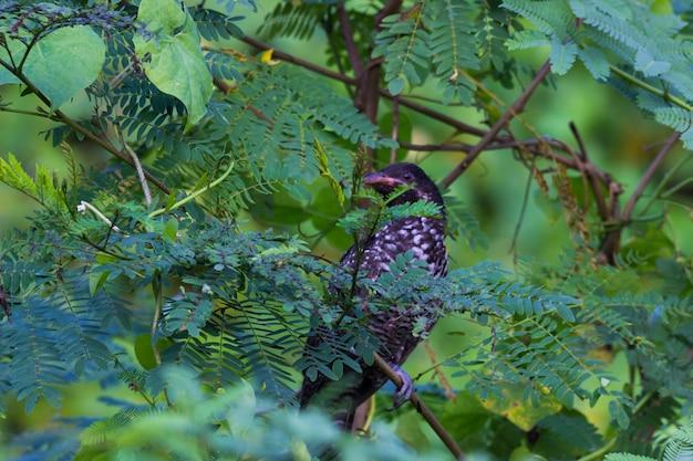 木の枝にとまるオニカッコウオスeudynamysscolopaceus朝の明るい赤目