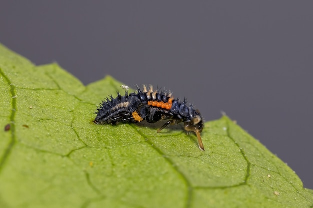 Asian lady beetle larvae of the species harmonia axyridis eating aphids on a hibiscus plant