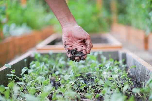 Рука азиатского мужчины держит немного земли над саженцами, которые он сам сажает в саду.
