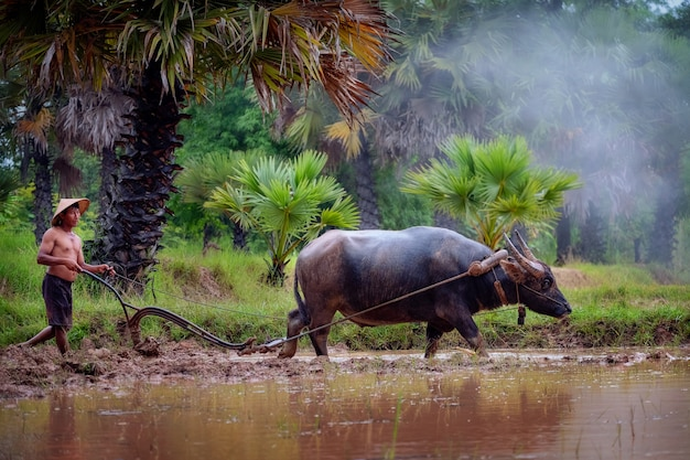 Asian man using the buffalo to plow for rice plant in rainy season