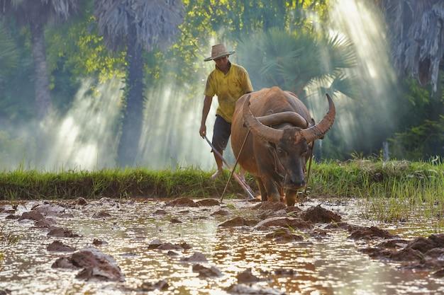 梅雨の時期に水牛を使って稲を耕すアジア人男性、タイの田舎