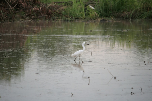 Asian openbill standing in a rice field, thailand