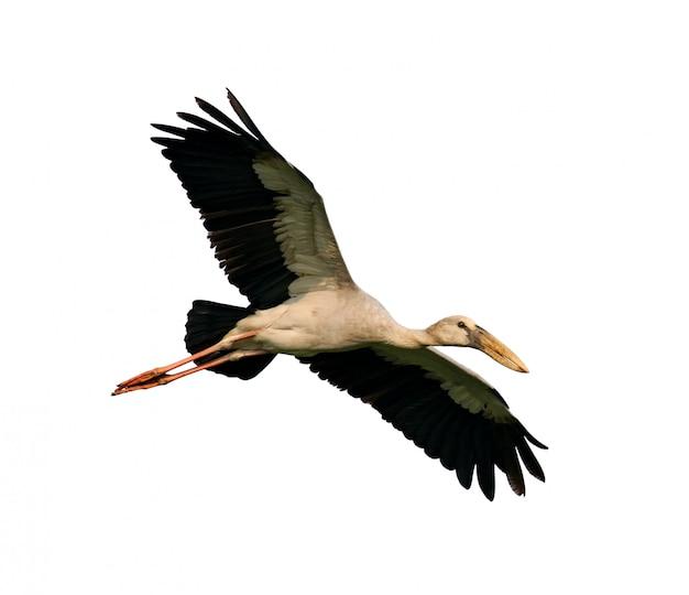 Asian openbill stock flying on white