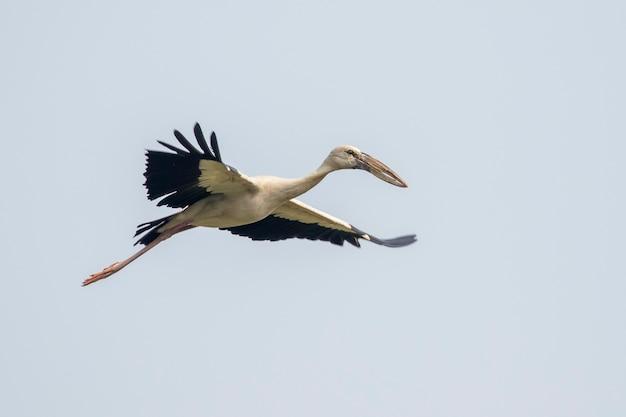 Asian openbill stork(anastomus oscitans) flying in the sky. bird, wild animals.