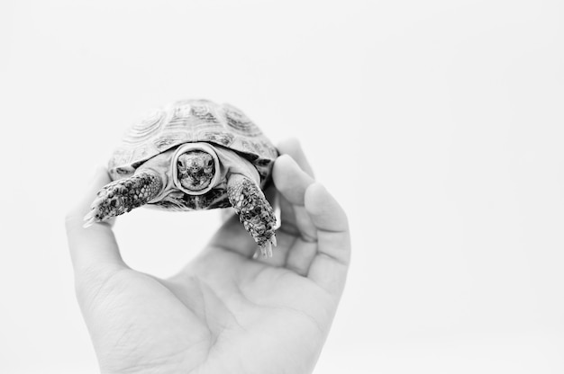 Asian overland turtle at hand of man isolated on white