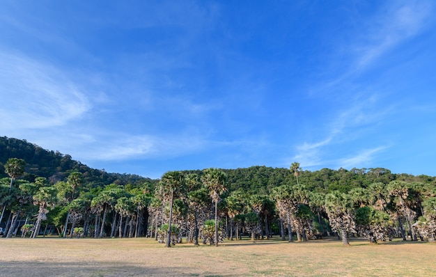 Asian palmyra palm in front of the rainforest mountains on blue sky background.