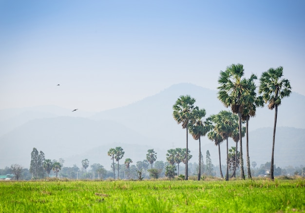 Asian palmyra palm ,sugar palm tree surrounded with  rice field in phetchaburi thailand