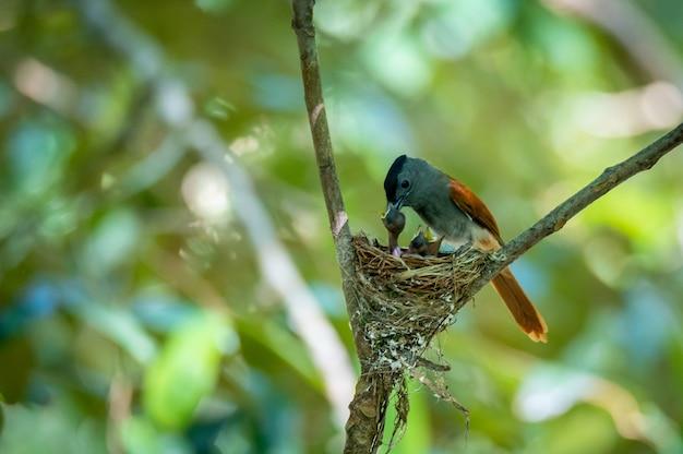 Азиатская райская мухоловка выкармливает свою добычу для своих детенышей