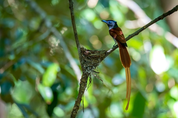 Asian paradise flycatcher bird perched at the nest