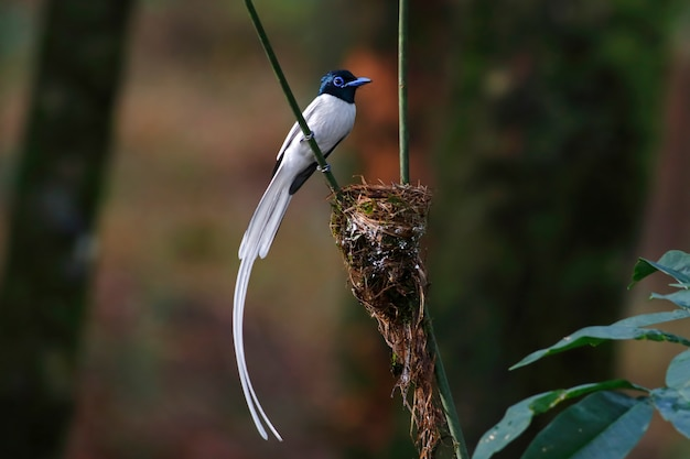 Asian paradise flycatcher terpsiphone paradisi beautiful male birds white morph of thailand perching on the nest