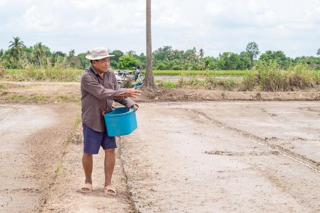 Asian senior farmer sow rice seed at rice farm