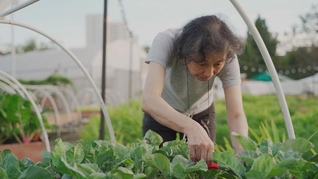 야채 농장의 녹색 들판에서 수확하는 아시아 수석 여성