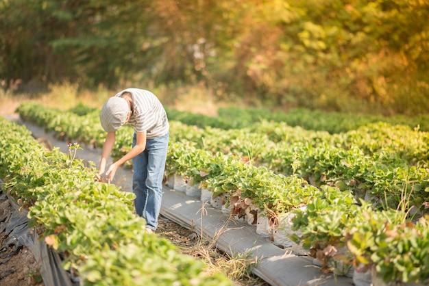 Asian sibling boys harvesting strawberry organic in the farm