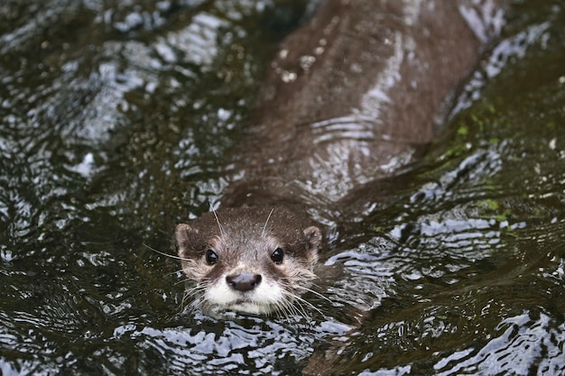 Asian smallclawed otter in the nature habitat