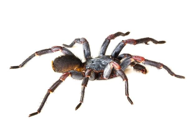 아시아 종 거미 독거미 학명은 흰색 배경에 haplopelma minax theraphosidae haplopelma입니다