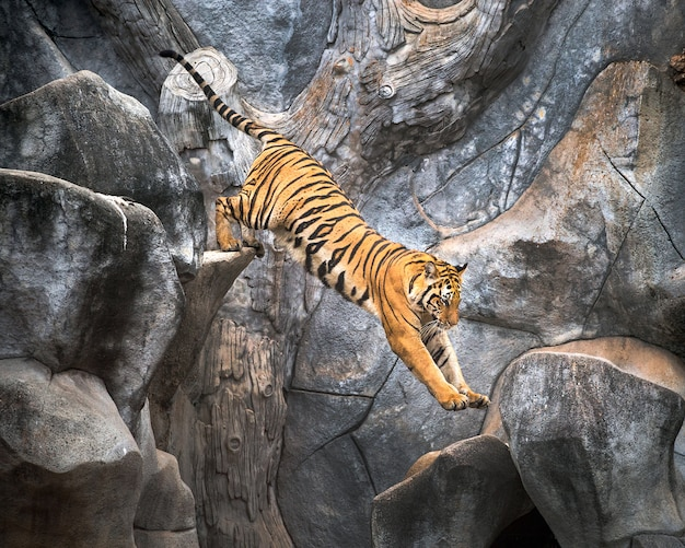 Asian tiger jumping on a rock.