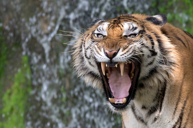 Asian tigers are roaring in a natural atmosphere