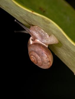 Азиатская улитка-бродяга вида bradybaena similaris