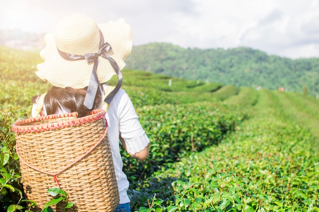 Asian traveler woman holding basket to  in green tea farm in the morning