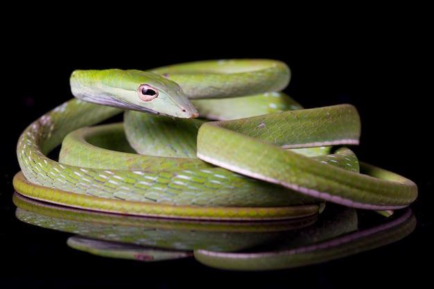 Asian vine snake ahaetulla prasina