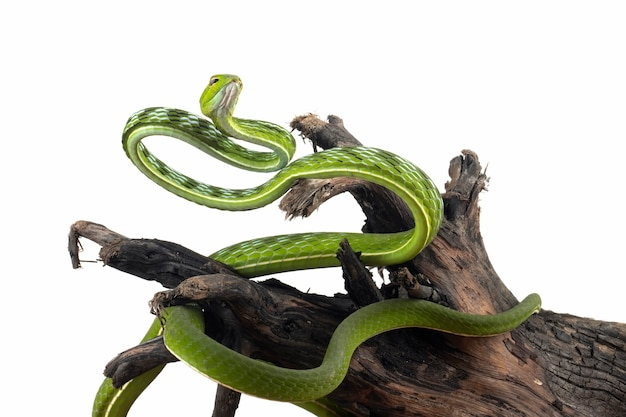 Primo piano asiatico del serpente rampicante sul primo piano animale di legno vista frontale della vite asiatica