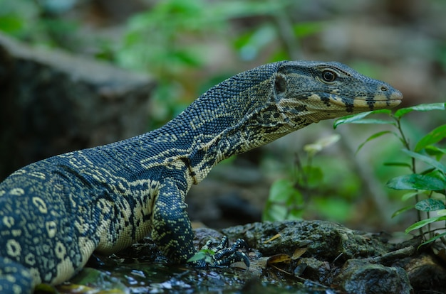 Asian water monitor (сальватор варанус сальватор)