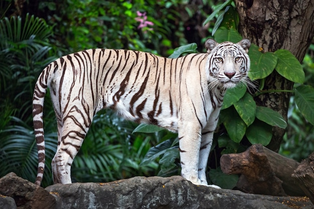 Asian white tigers stand on rocks in the natural atmosphere of the zoo.