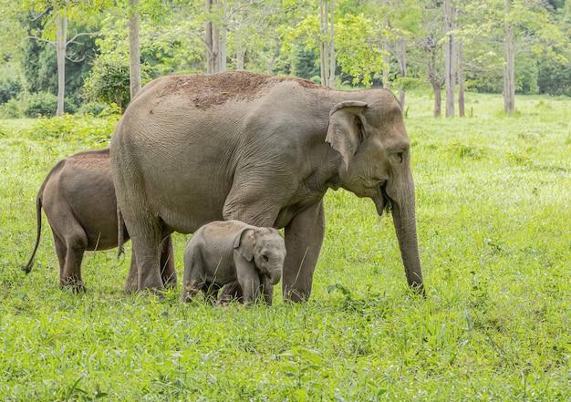 Asian wild elephants look very happy with food in the rainy season