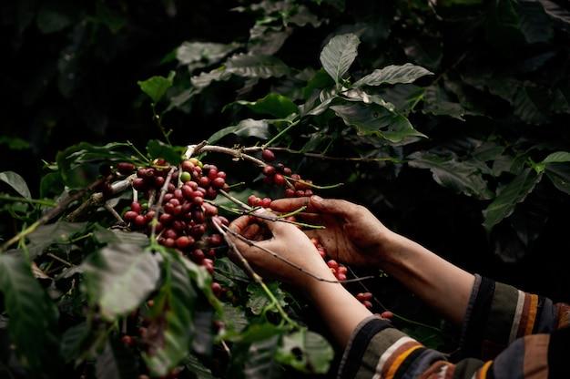 Asian woman farmer harvest arabica cherry coffee