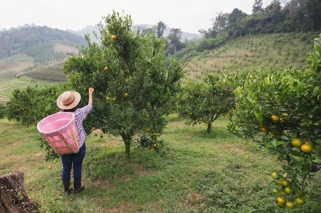 아침 시간에 오렌지 필드 정원에서 판매를위한 오렌지를 따기 뒷면에 바구니와 함께 아시아 여자 정원사.