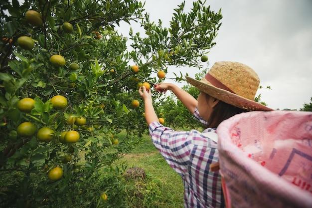 Азиатская женщина-садовник с корзиной на спине, собирая апельсин ножницами в саду апельсинового поля в утреннее время.