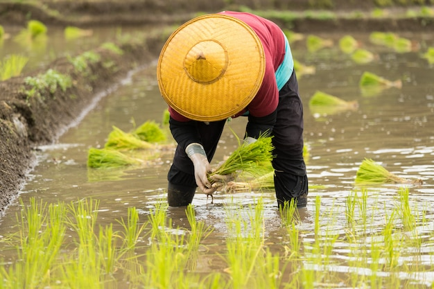 Asian woman on the rice field, farmer planting rice sprout in thailand