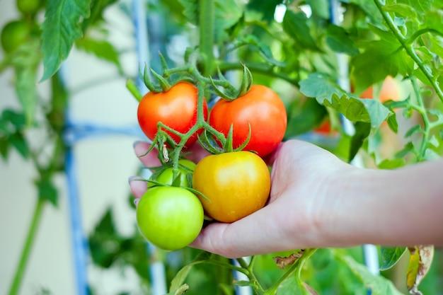 빨간색 노란색과 녹색 토마토의 분지를 들고 아시아 여자의 팔 프리미엄 사진
